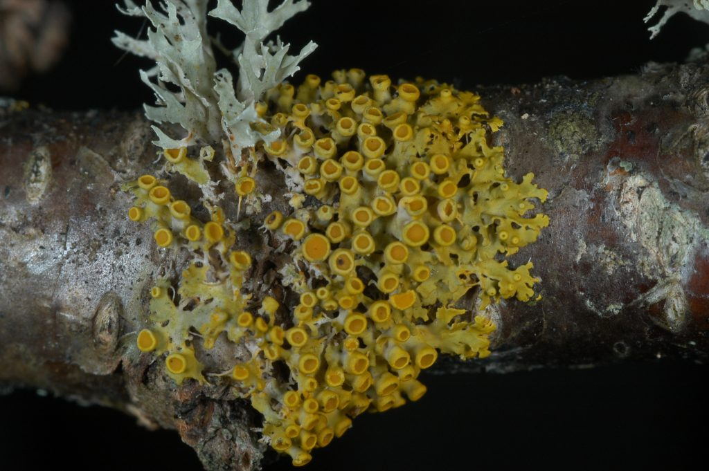 Lichen coloration is primarily due to pigments produced in their outer layers and which serve many functions, including sunscreening. This orange species, Xanthomendoza hasseana, is rare in the southern Appalachians where it grows on canopy branches in old-growth forests.