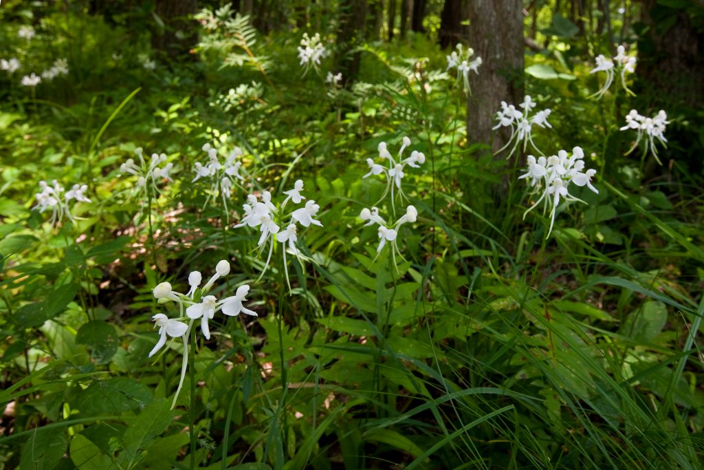 White fringed orchid.