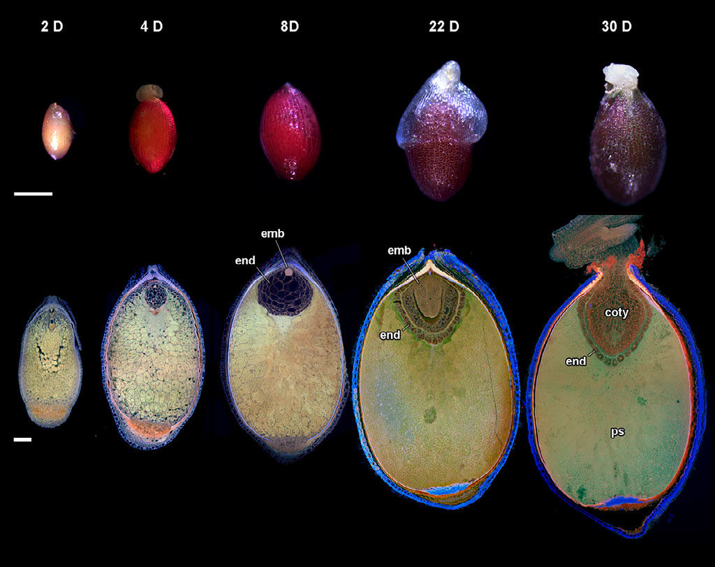 Seed development in Nymphaea thermarum.