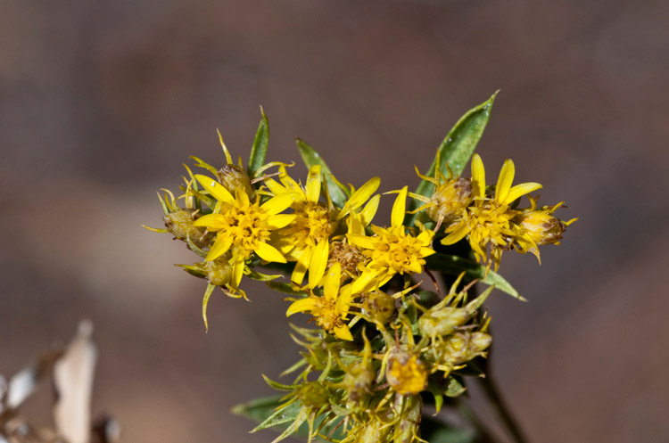 Smallhead heathgoldenrod (Lorandersonia microcephala). Photo credit: Richard Spellenberg.