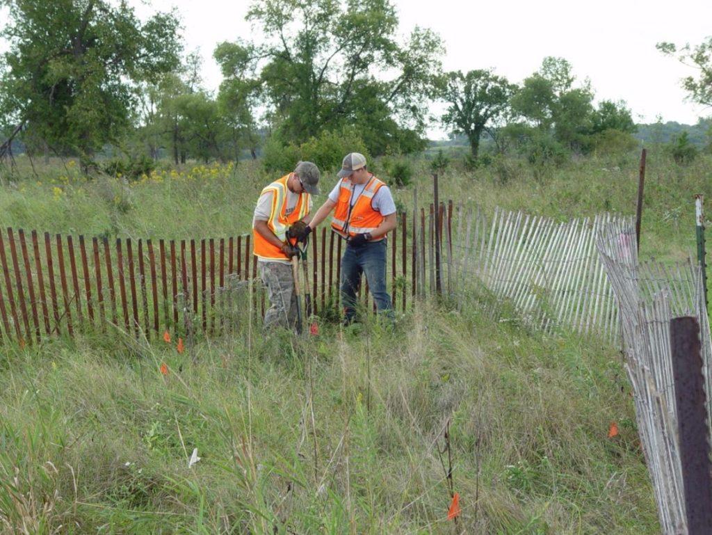 Digging up Arnoglossum plantagineum – translocation project.