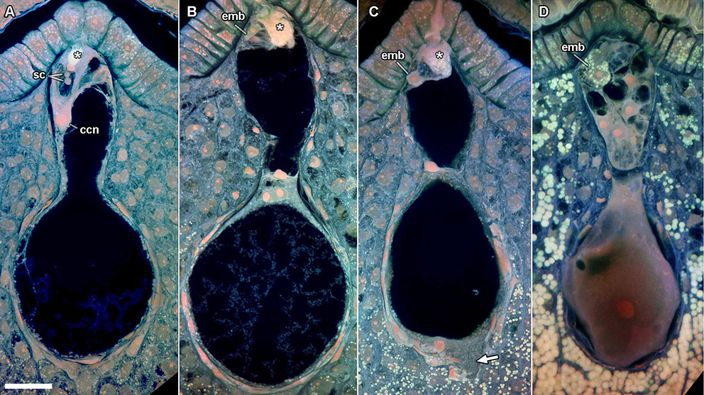 Fertilization and endosperm differentiation in Nymphaea thermarum.