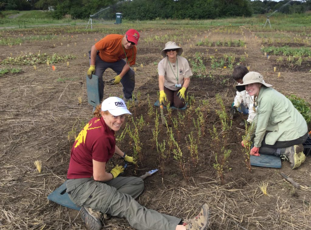 Planting plugs. Approximately 18,000 plugs were planted in August 2016 by 5 staff, a graduate student, and more than 40 volunteers.