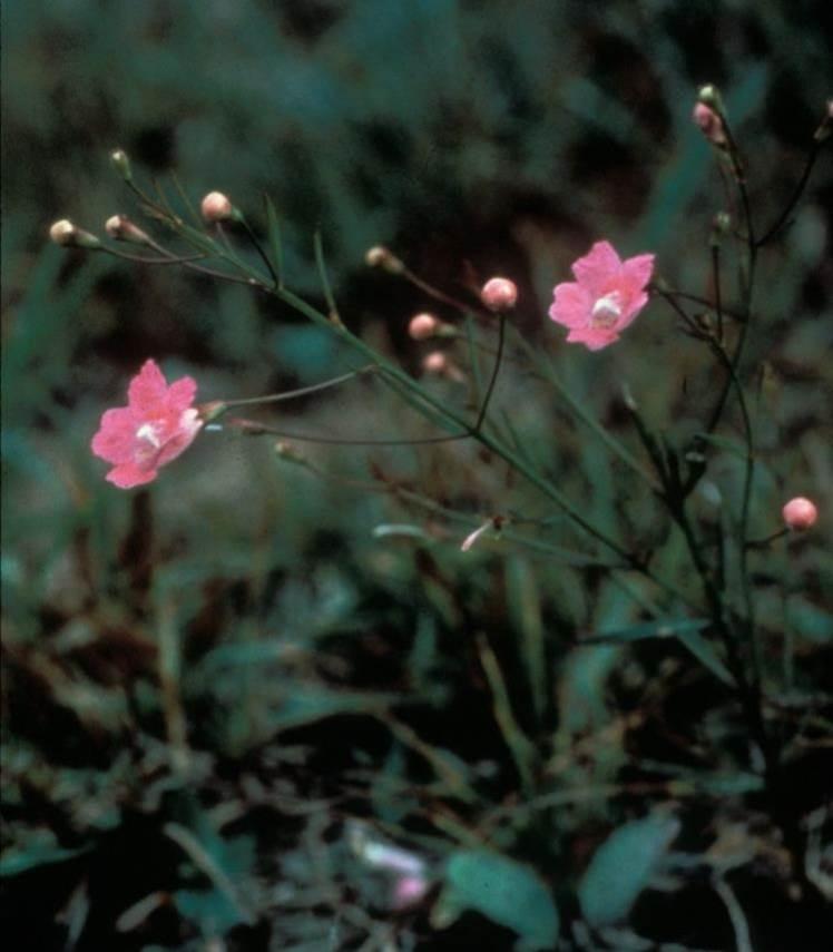 sandplain gerardia (Agalinis acuta)