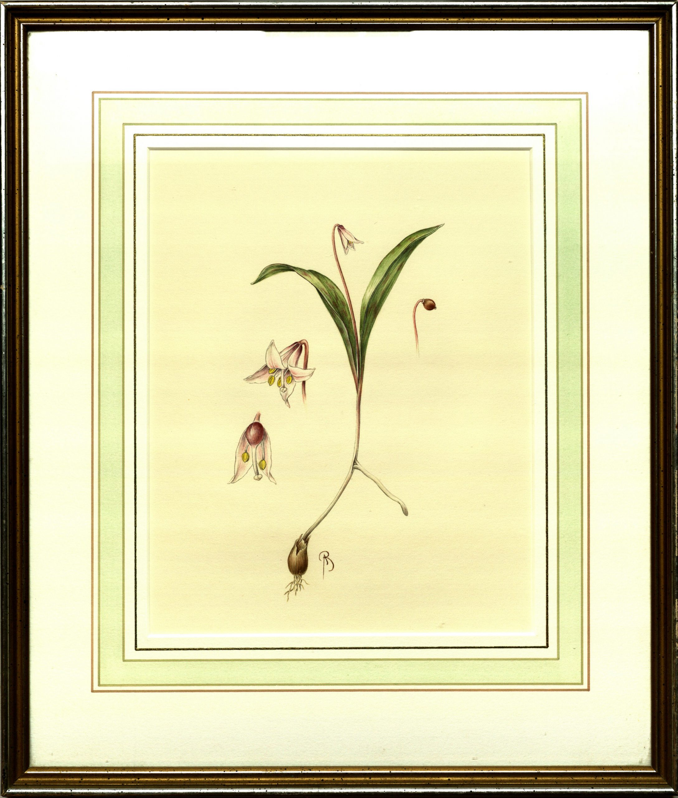 Water color illustration by Bobby Angel of the endangered Minnesota dwarf trout lily (Erythronium propullans).