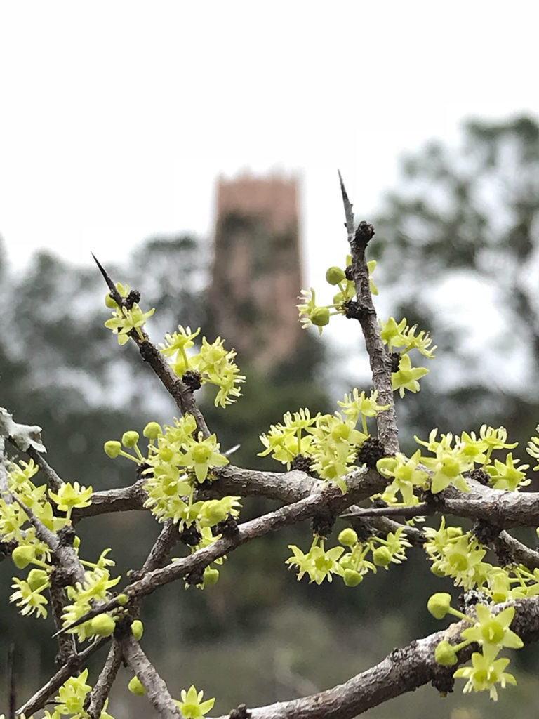 Flowering Ziziphus celata in the National Collection with Bok Tower in the background