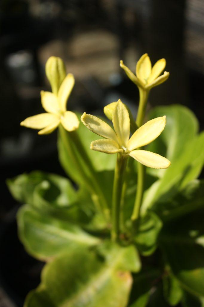 B.insignis flowers