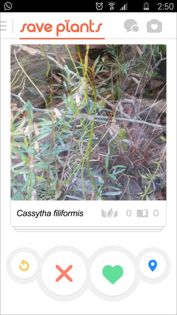 Cassytha filiformis profile