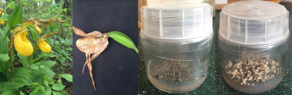 Photo of Embryo culture of yellow lady's slipper (Cypripedium parviflorum var. pubescens)