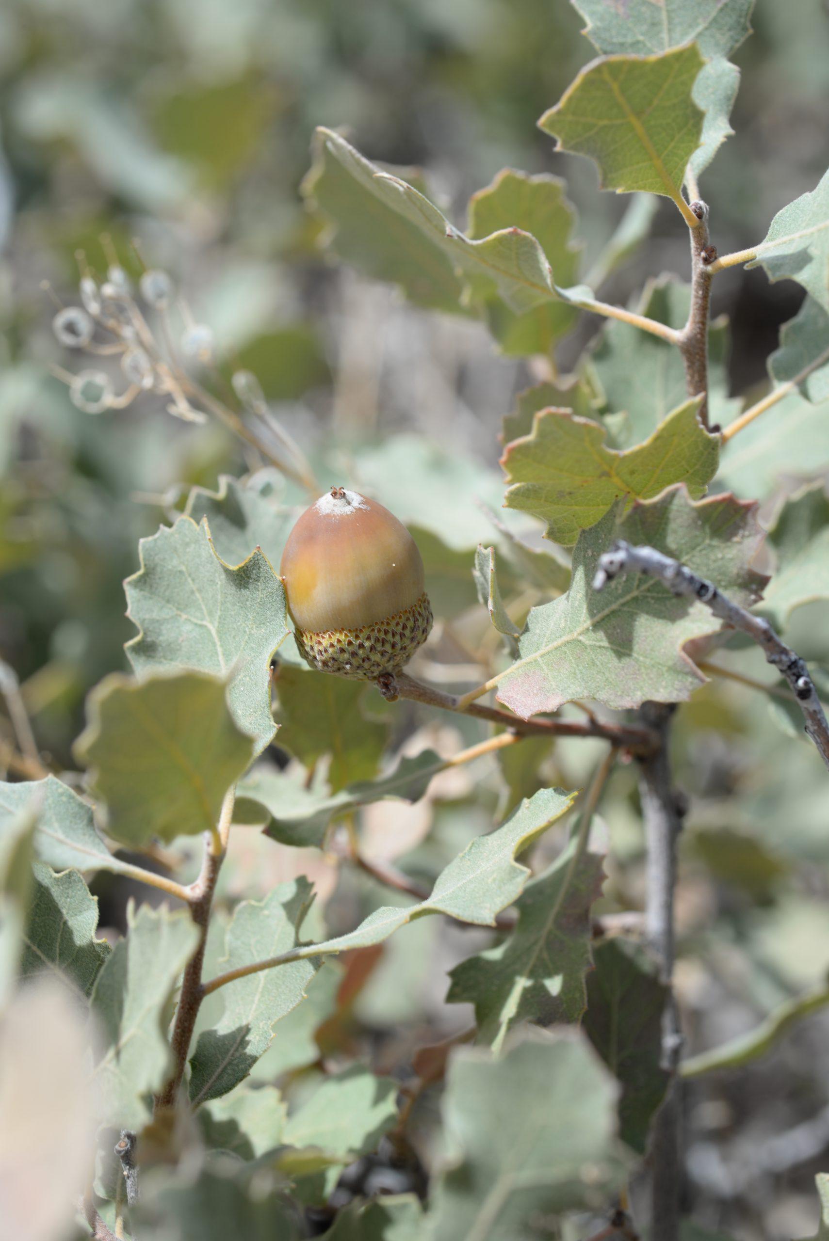 A shinnery oak (Q. havardii) acorn from Cedar Mesa, Utah.