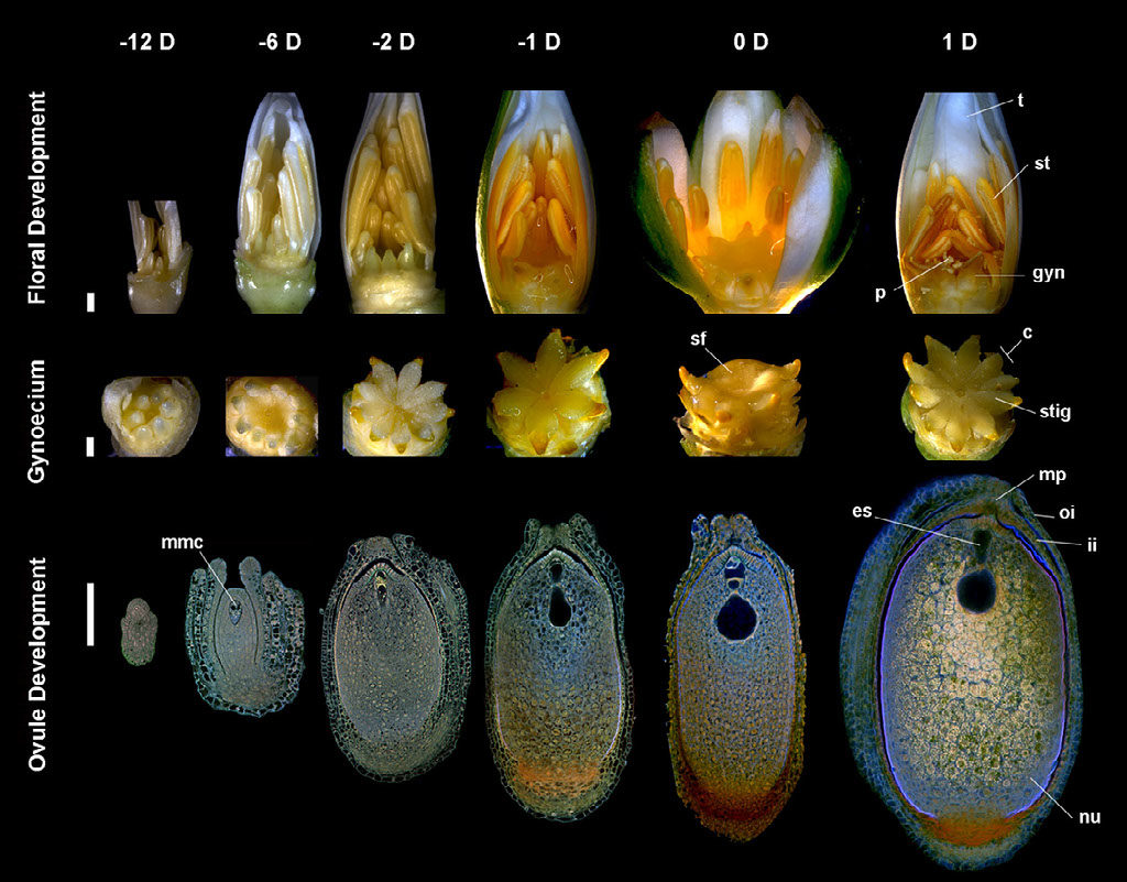 Flower and ovule morphogenesis in Nymphaea thermarum. Stages in floral biology, gynoecium development and ovule morphogenesis are depicted at 12, 6, 2 and 1 days before anthesis, as well as the first and second day of anthesis.