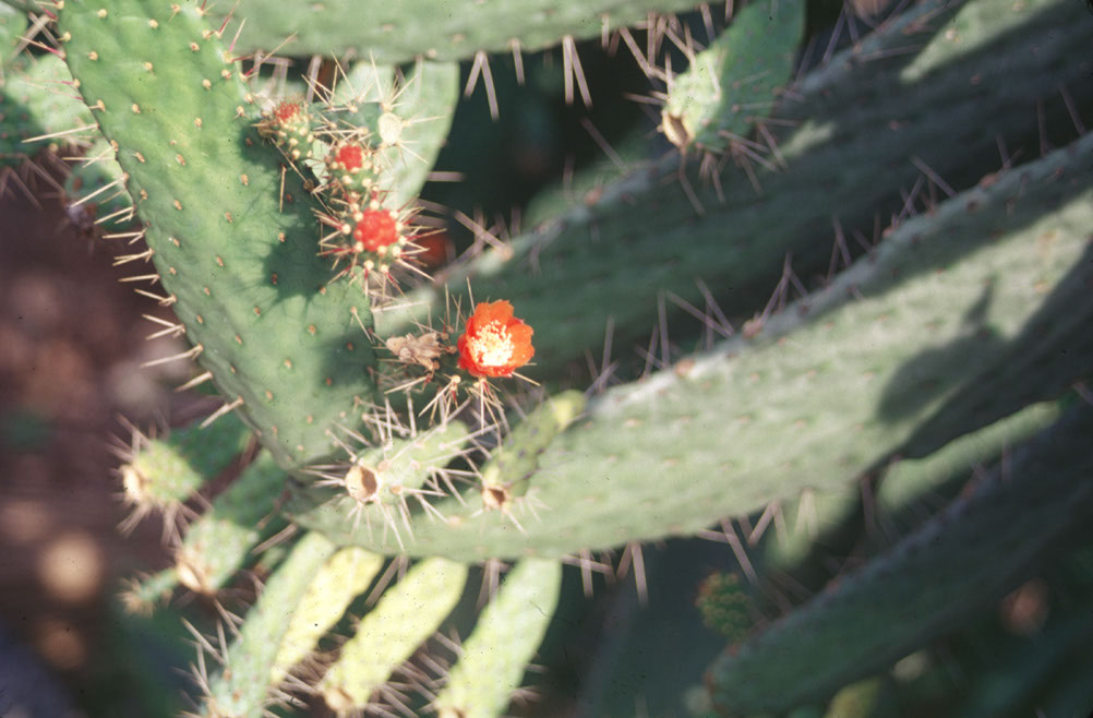 Image of cactus in bloom