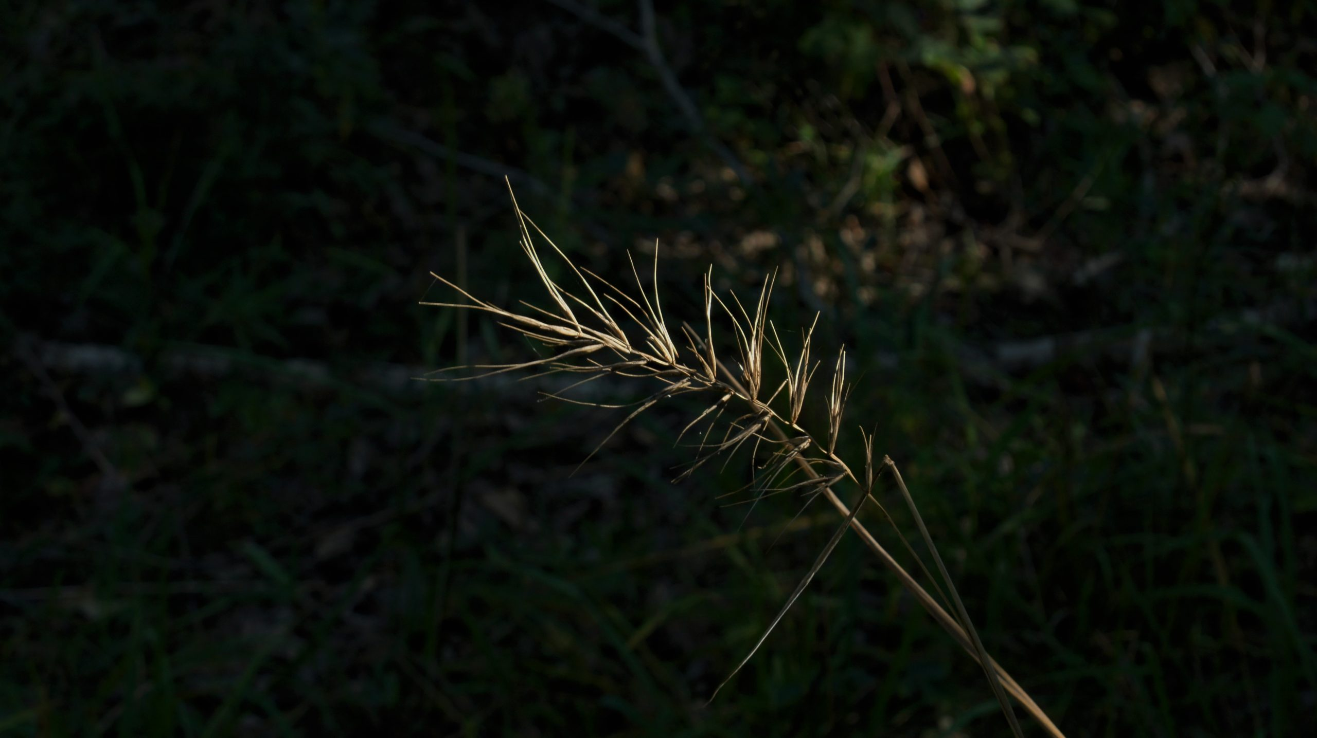 Church's wild rye, Elymus churchii, collected for the Millennial Seed Bank banking project.