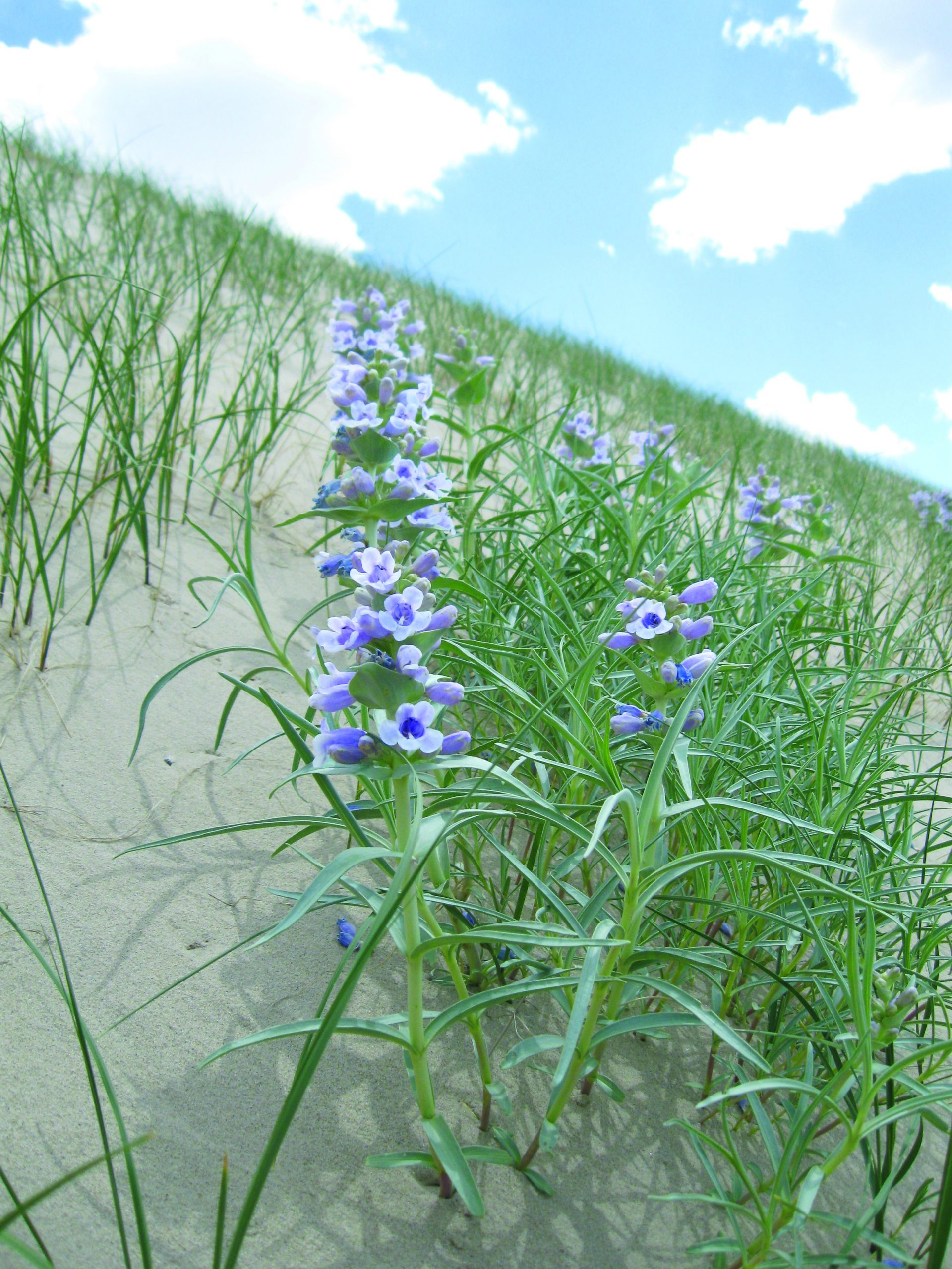 The blowout penstemon (Penstemon haydenii) is an early colonizer of open sand dune habitats (blowouts) and is threatened by the decline in the processes that create this habitat.