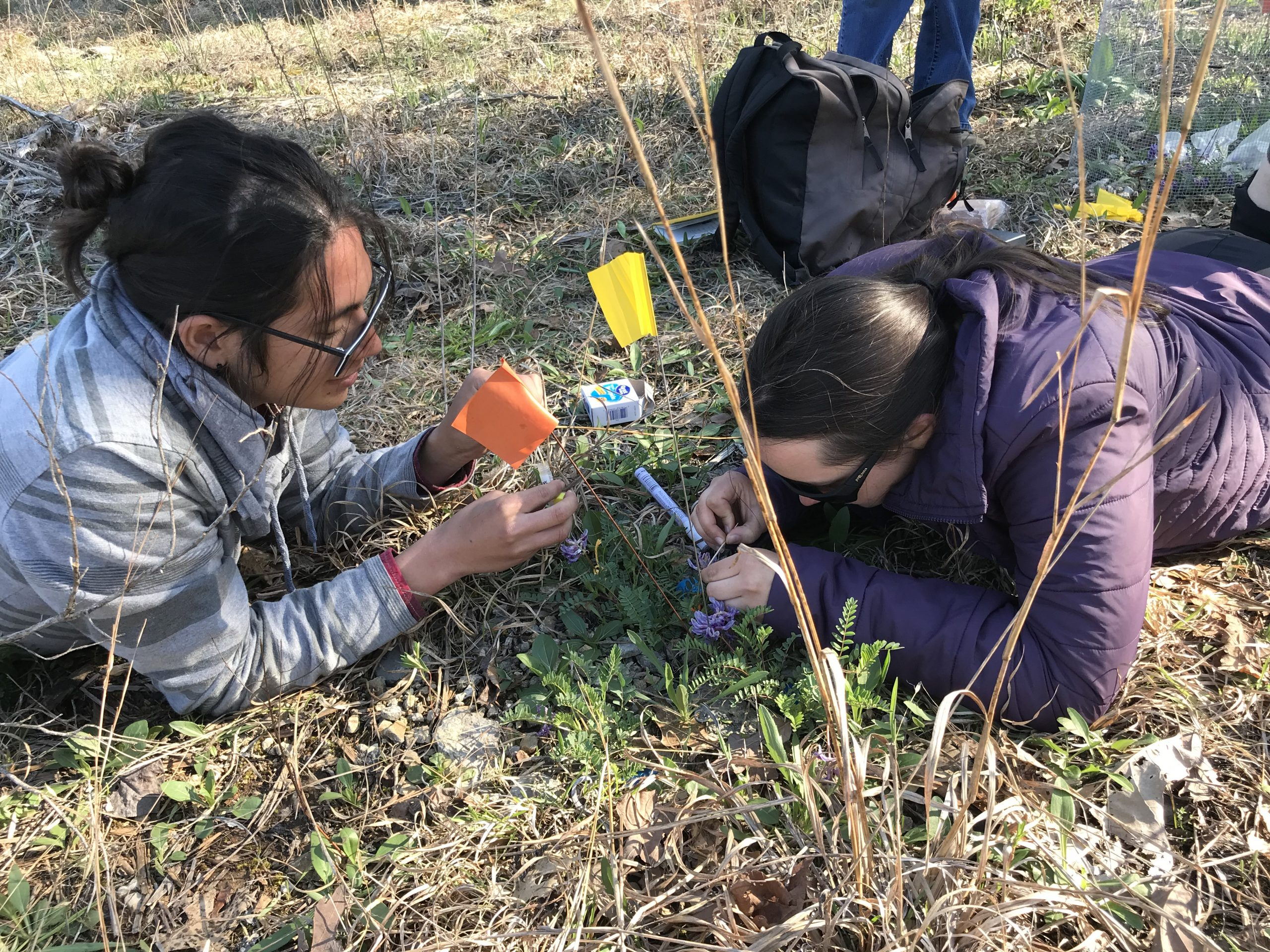 James Lucas and Shannon Skarha applying pollination treatments to reintroduced Pyne's ground-plum plants.