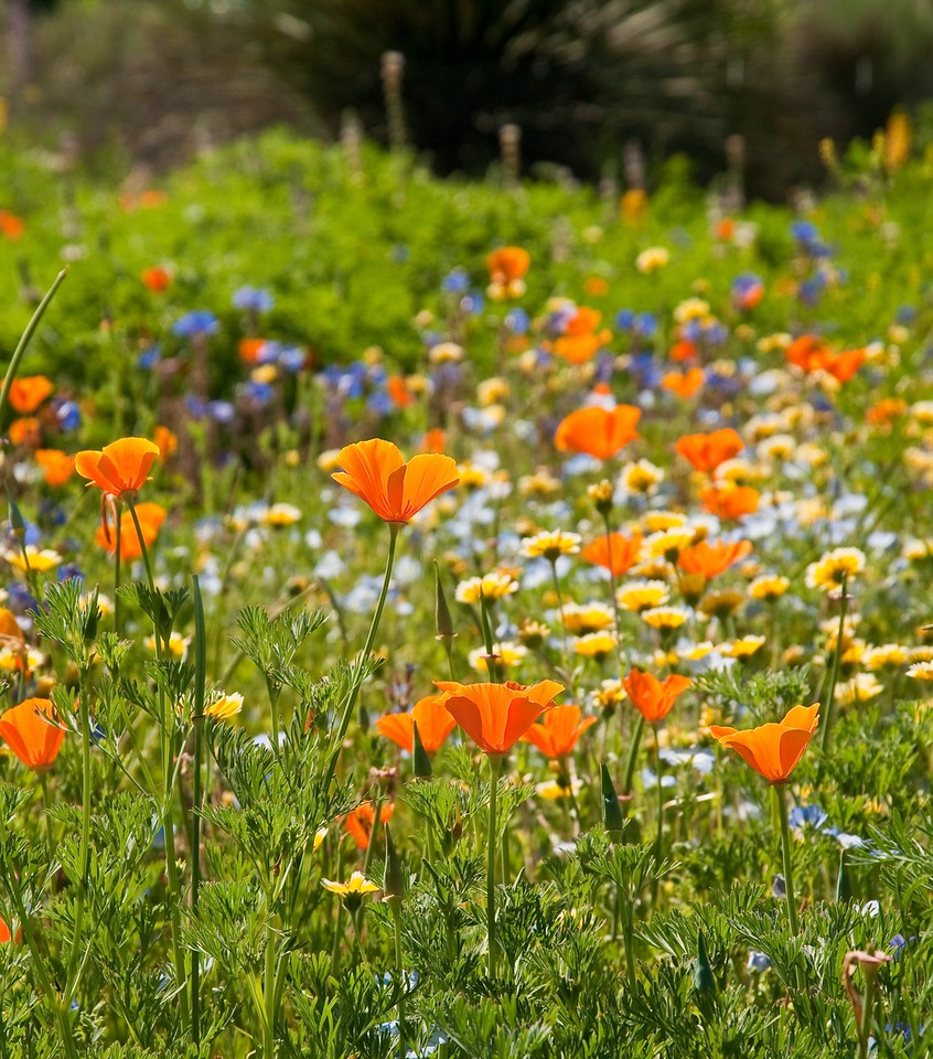 Fay's Meadow at Rancho Santa Ana Botanic Gardens hosts a bright display of native wildflowers, including California poppies (Eschscholzia californica).