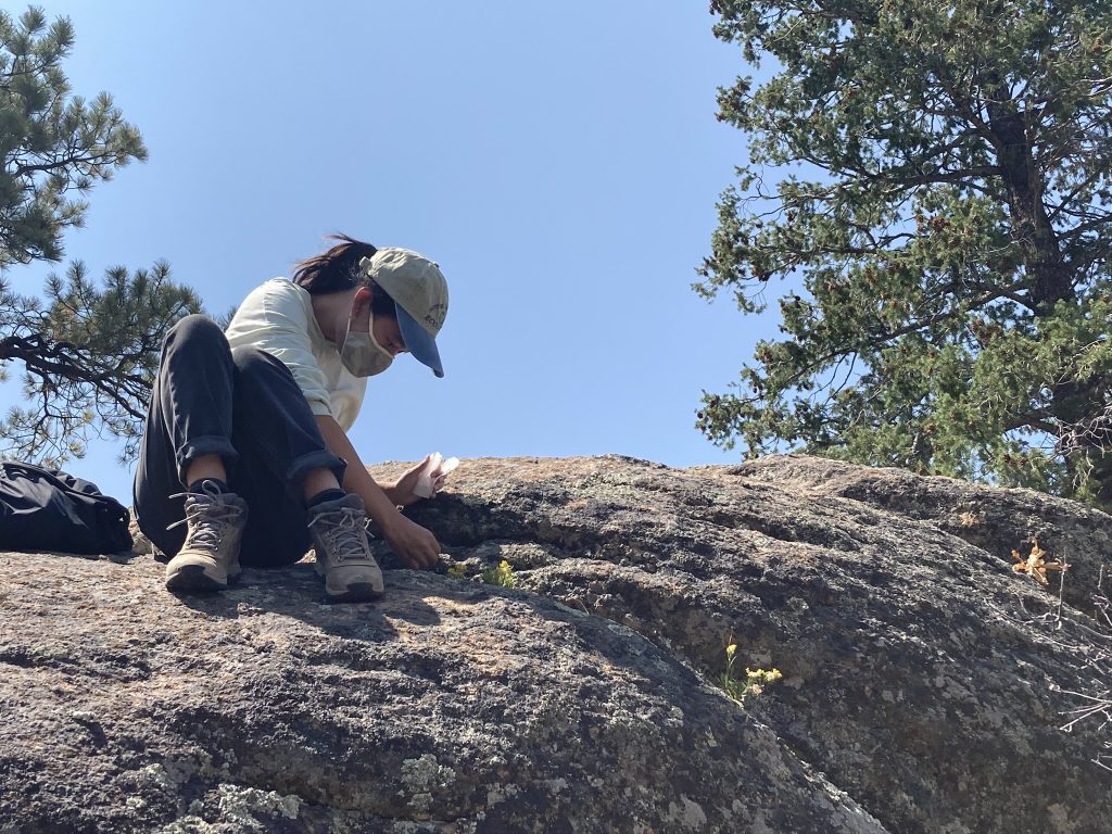 Maria Mullins from the Institute for Applied Ecology collects small-headed goldenweed (Lorandersonia microcephala) in north central New Mexico.