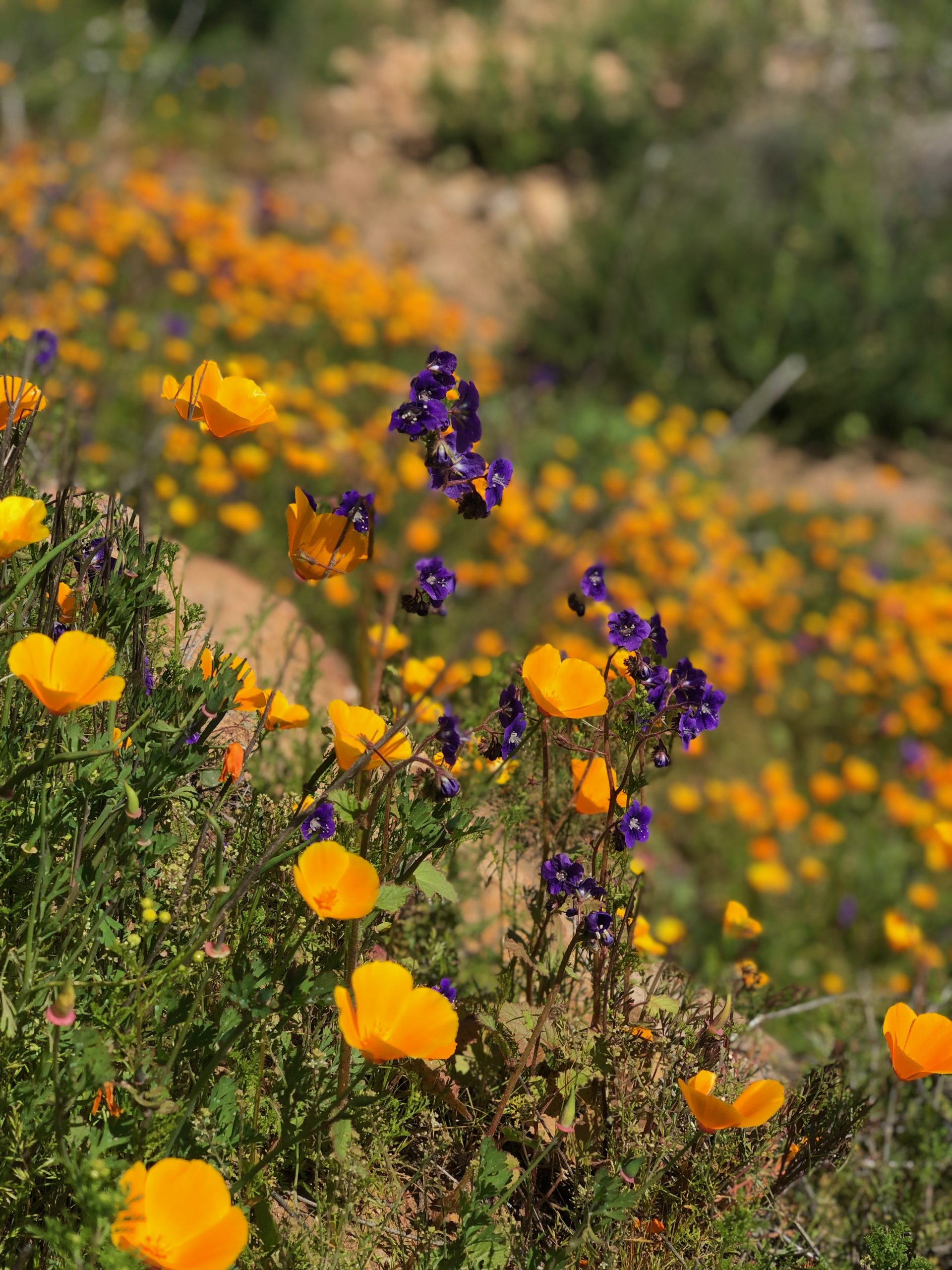 California poppies (Eschscholzia californica) and Parry's phacelia (Phacelia parryi) blanket a slope in the Biodiversity Reserve adjacent to the San Diego Zoo Safari Park.