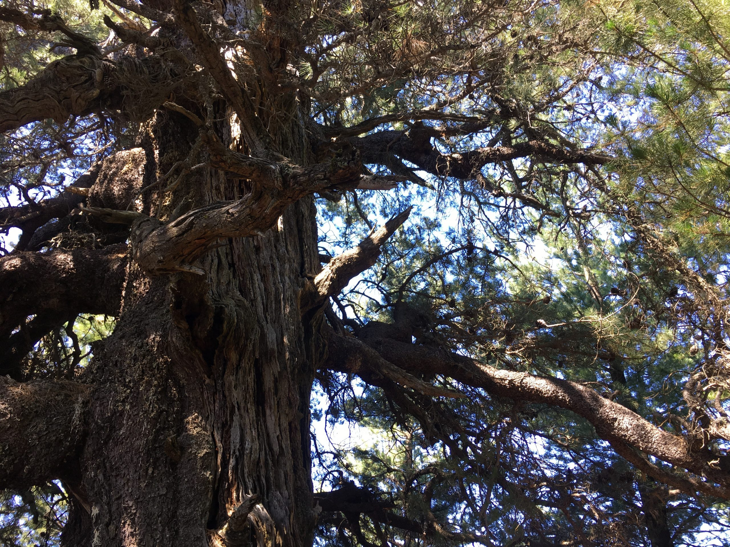 A pine that may be 200+ years old provides much of the seed used for the restoration.
