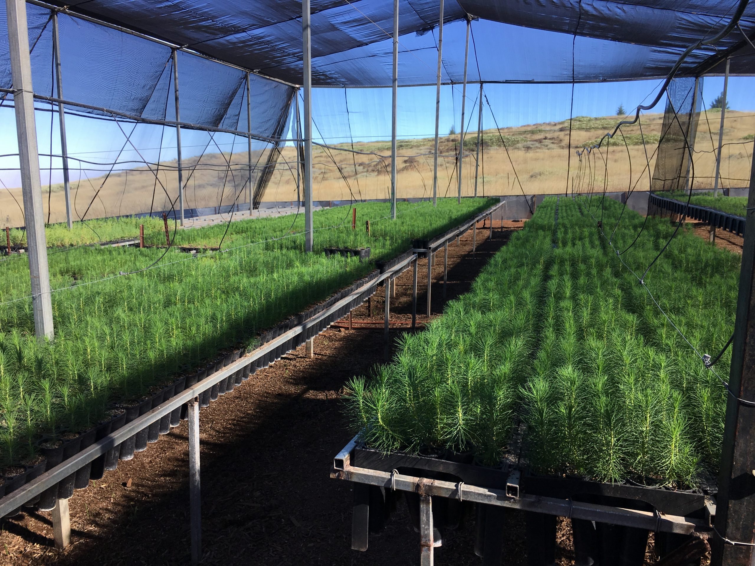 Thousands of Pinus radiata var. binata seedlings will help restore forests to the island.