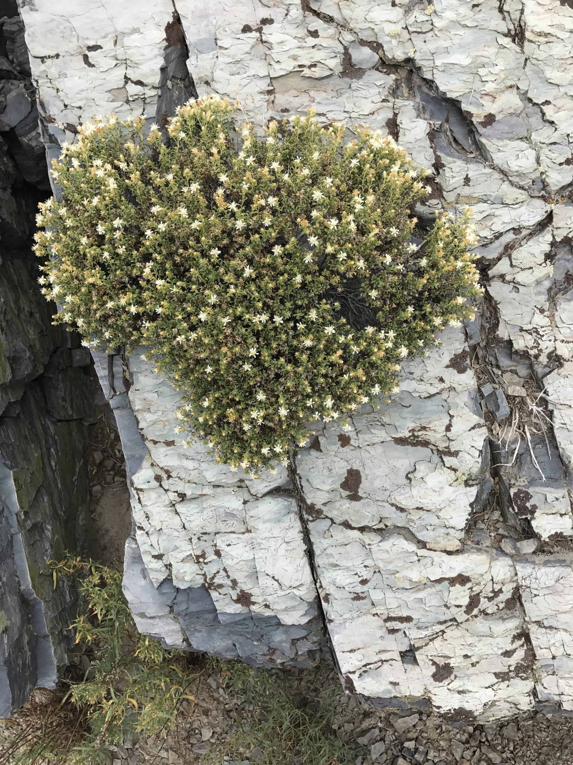 Gilman's goldenbush, (Ericameria gilmanii)