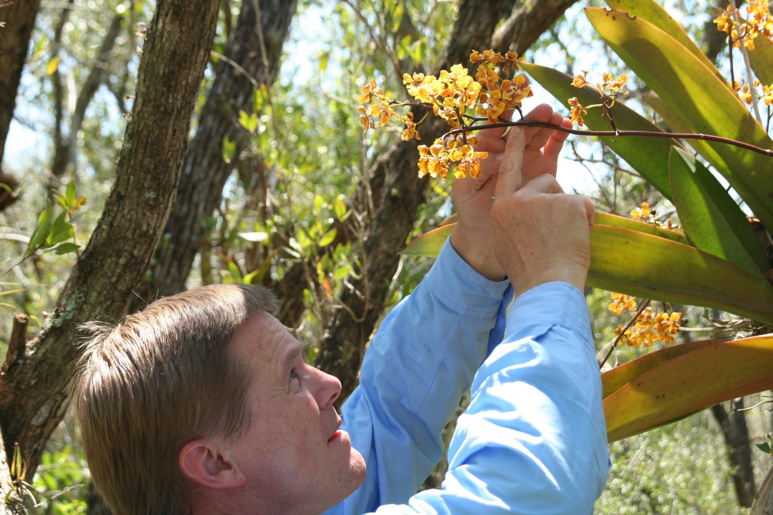 Bruce Holst of Selby Gardens counting inflorescence branches of spotted mule eared orchid (Trichocentrum undulatum), a rare Florida native. Photo: Jesse Hoffman, courtesy of Marie Selby Botanical Gardens.