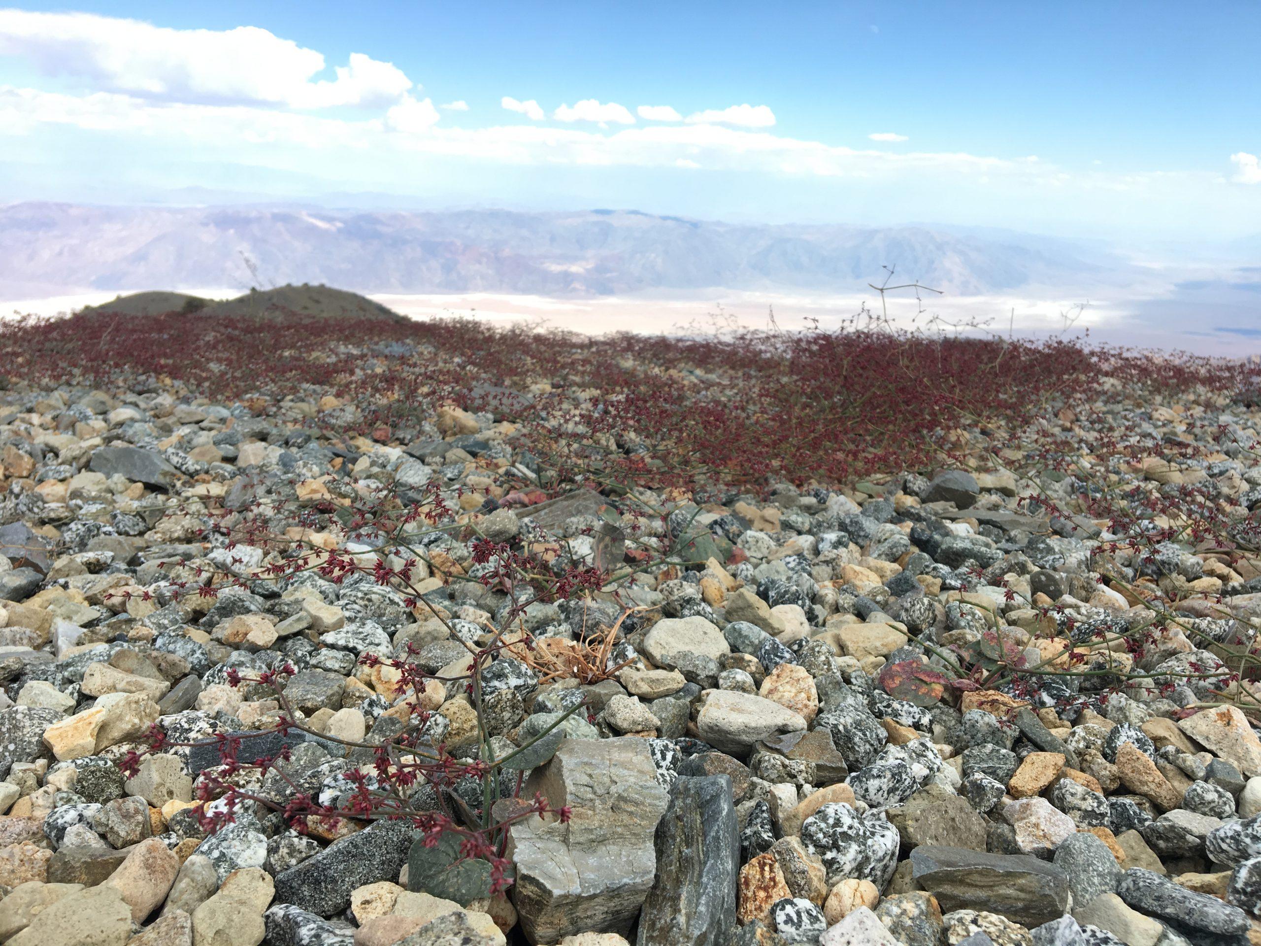 Telescope Peak buckwheat (Eriogonum eremicola)