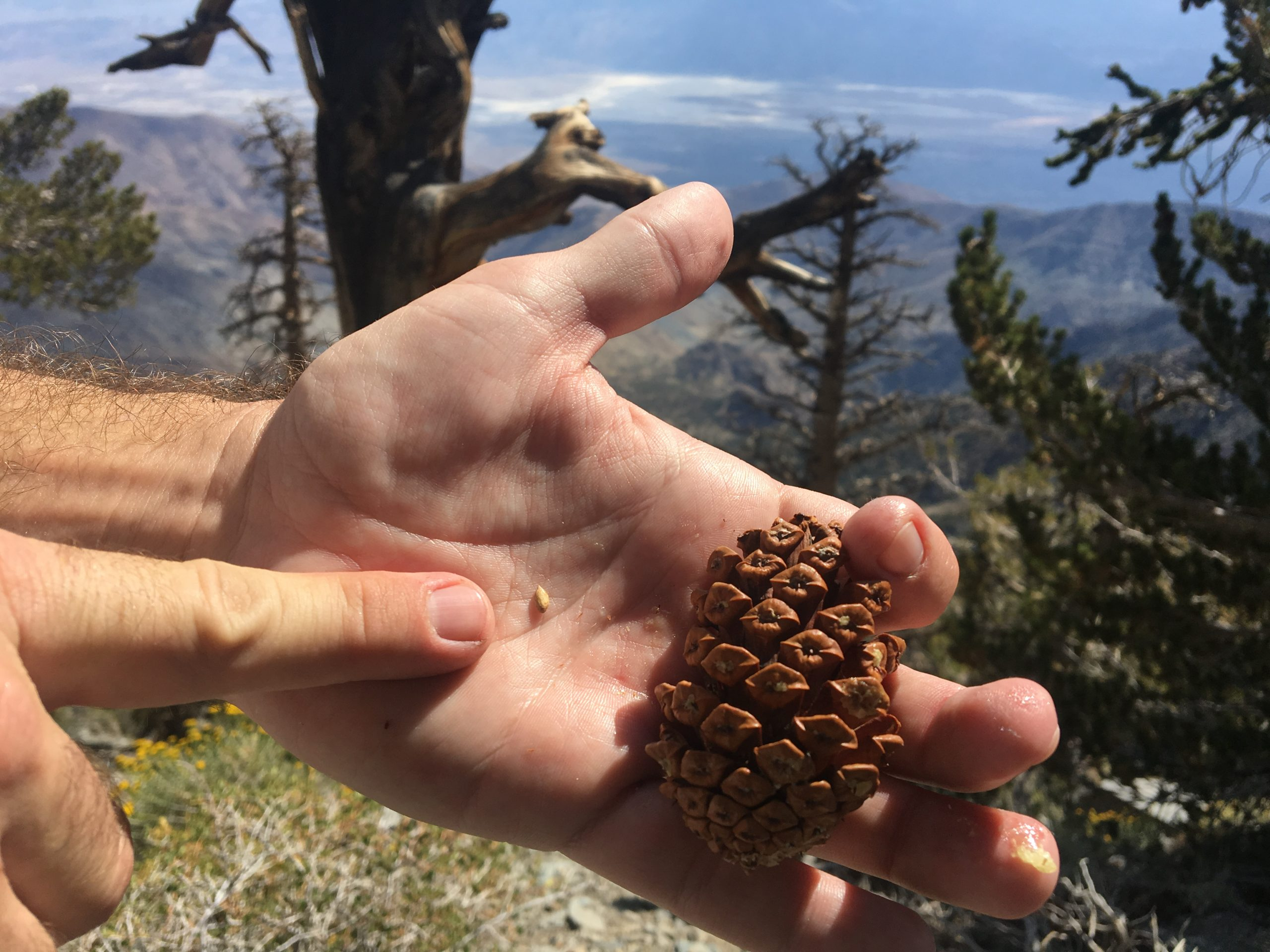 Seed of a bristlecone pine