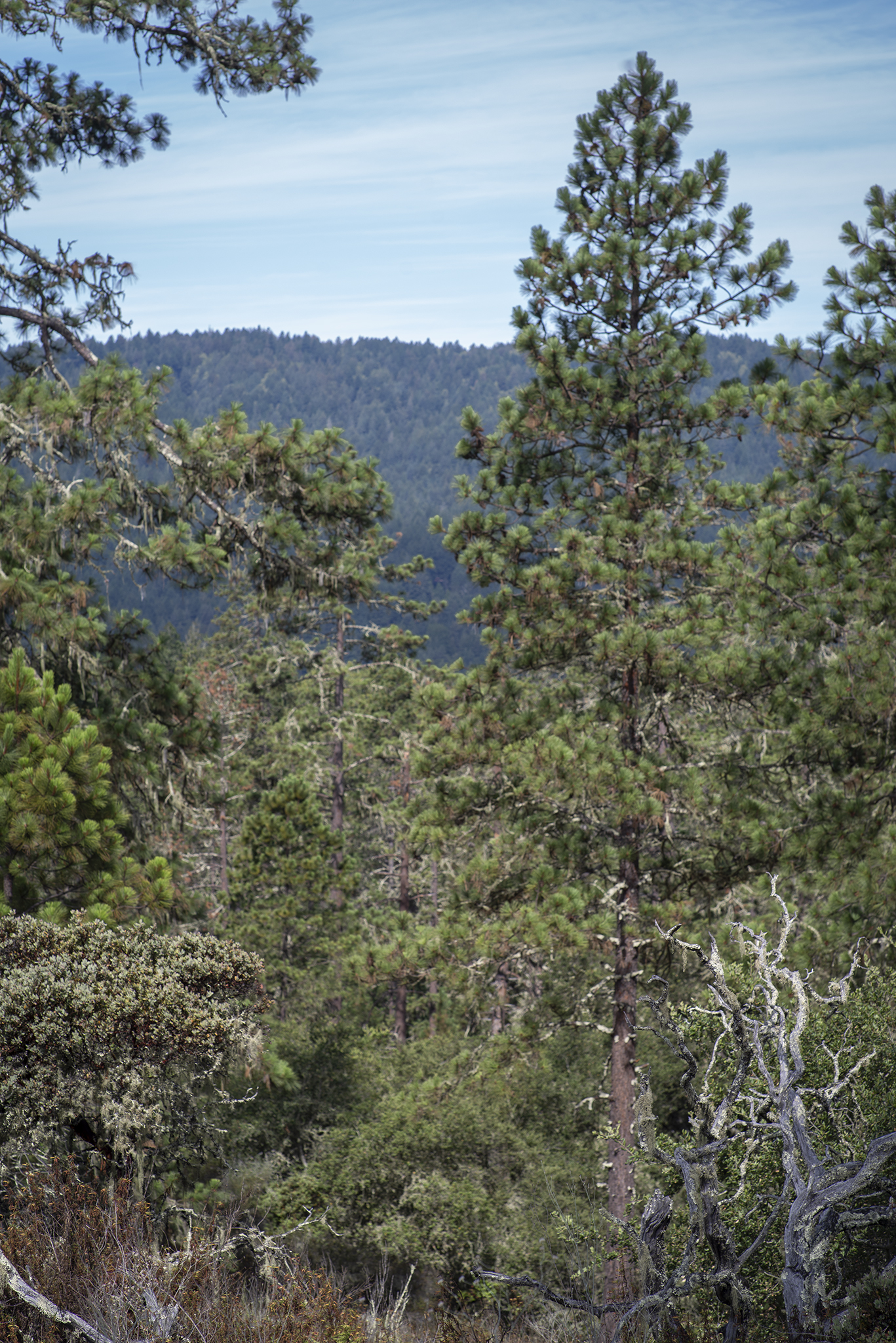 Volunteers summitted Mount Hermon for a view of the ponderosa pine forest.