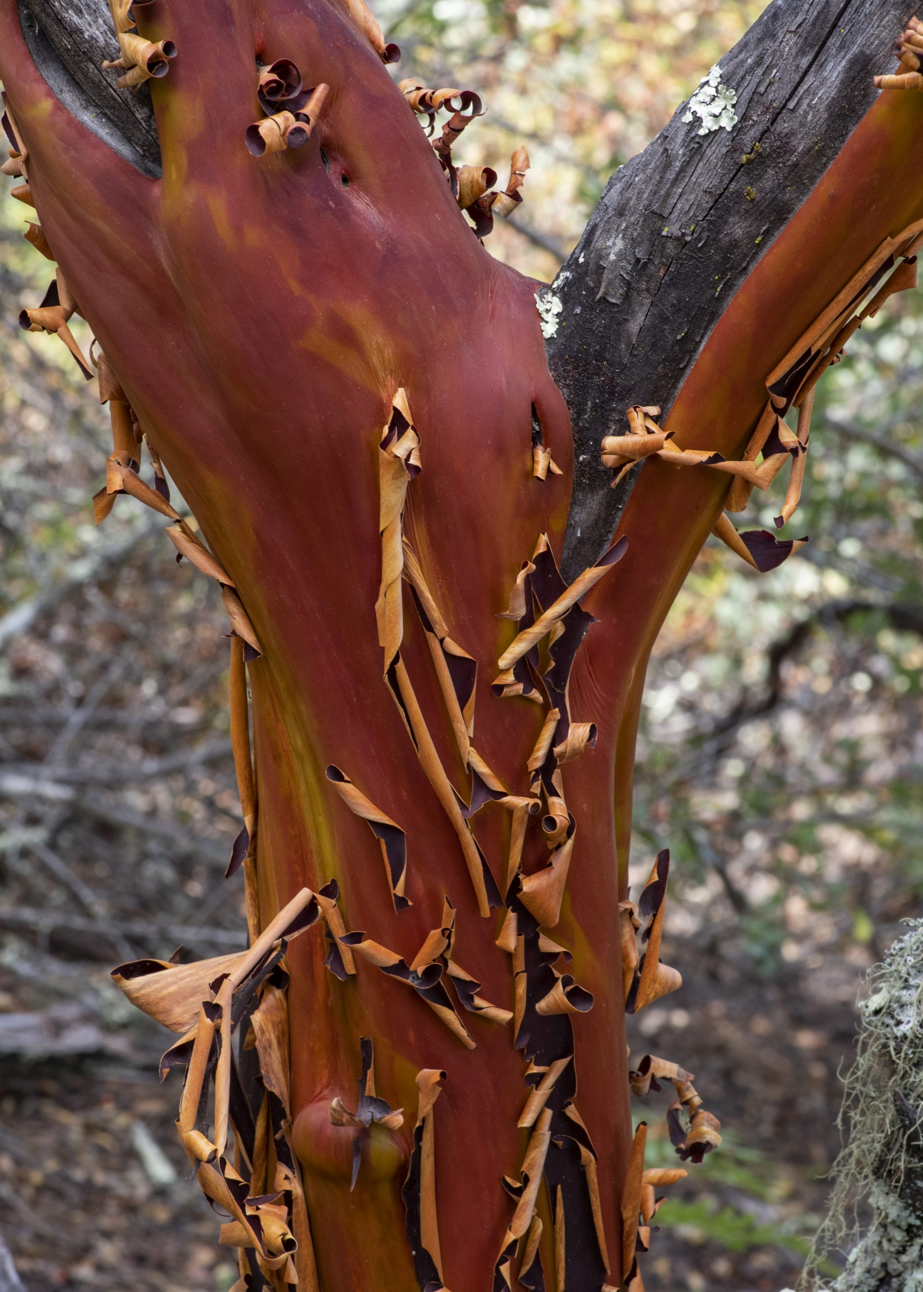 The peeling bark of a Pacific madrone (Arbutus menziesii).