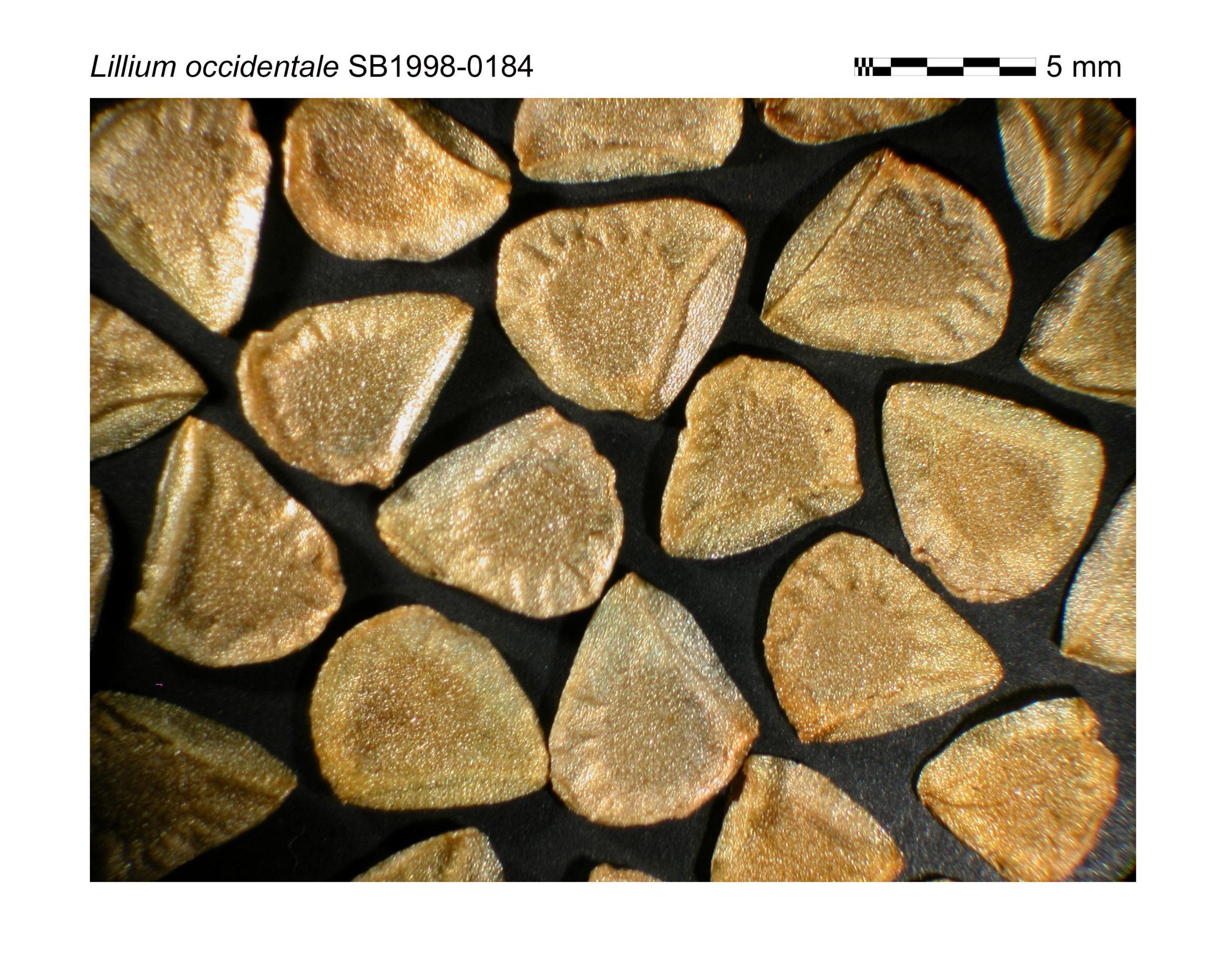 Lillium occidentale seeds