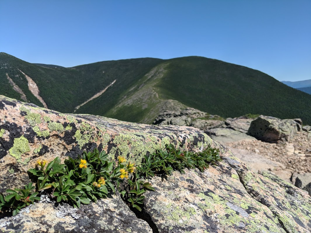 Alpine goldenrod (Solidago leiocarpa) on a ridge top line in New Hampshire. Photo by Matt Charpentier