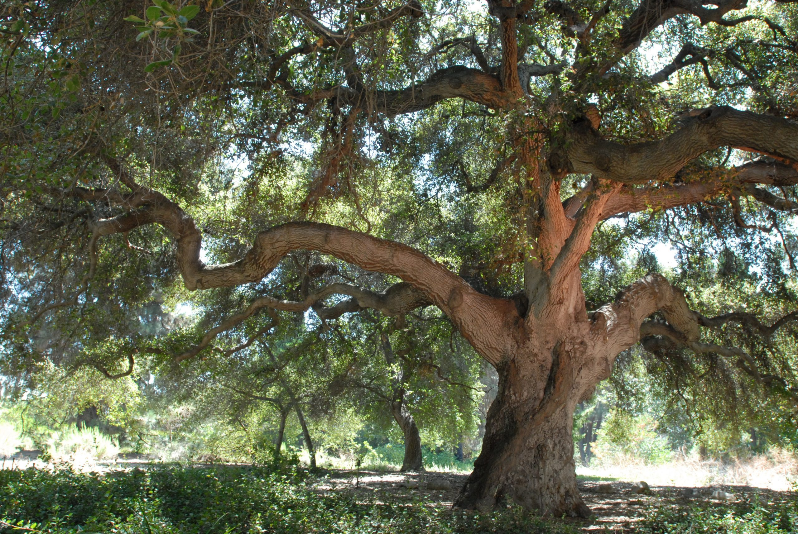 Rancho Santa Ana Botanic Garden is home to many native trees including some truly majestic oaks.