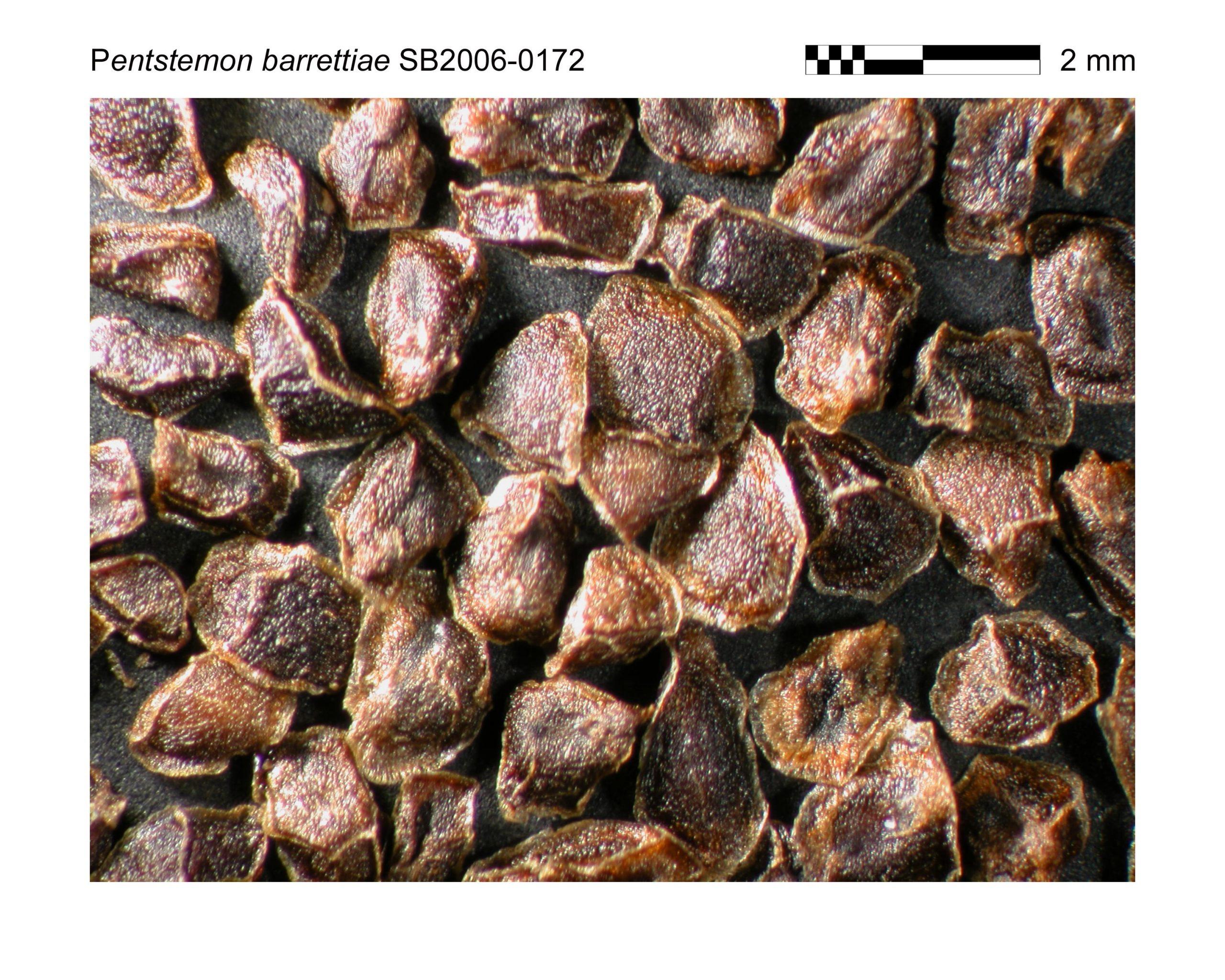 Penstemon barrettiae seeds