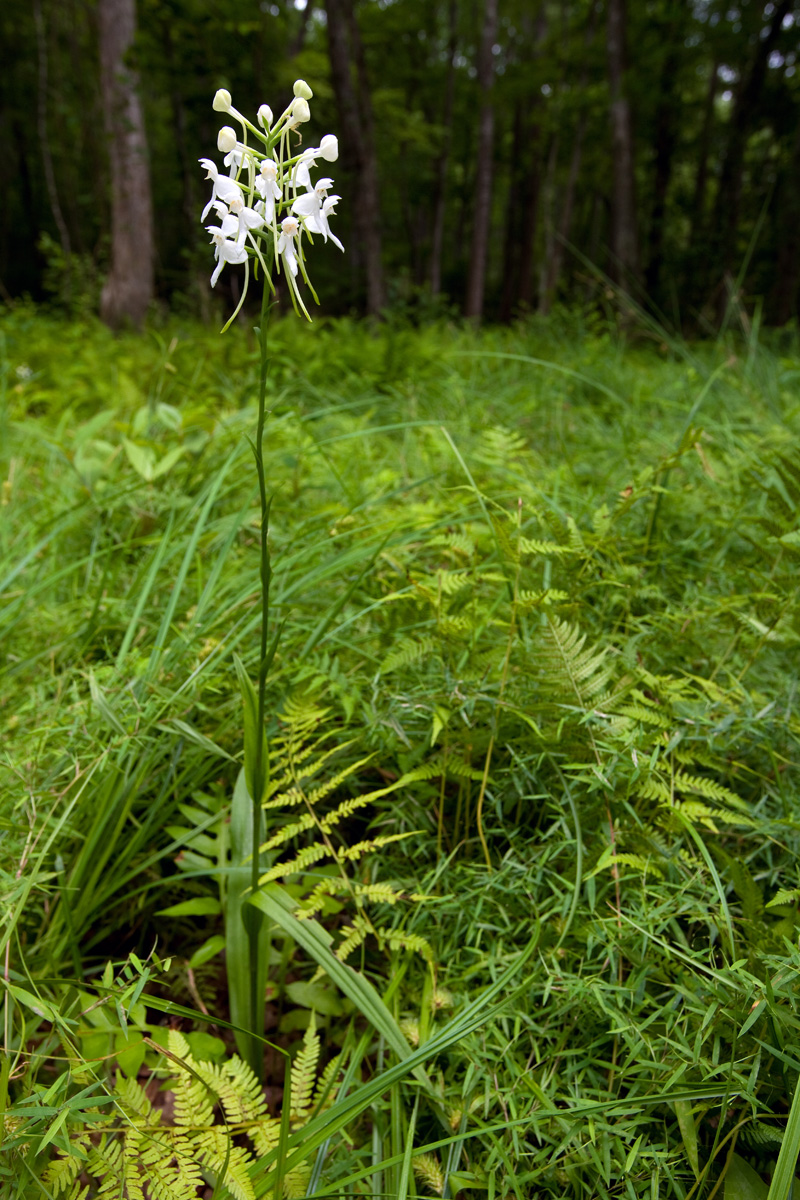White fringeless orchid in bloom.