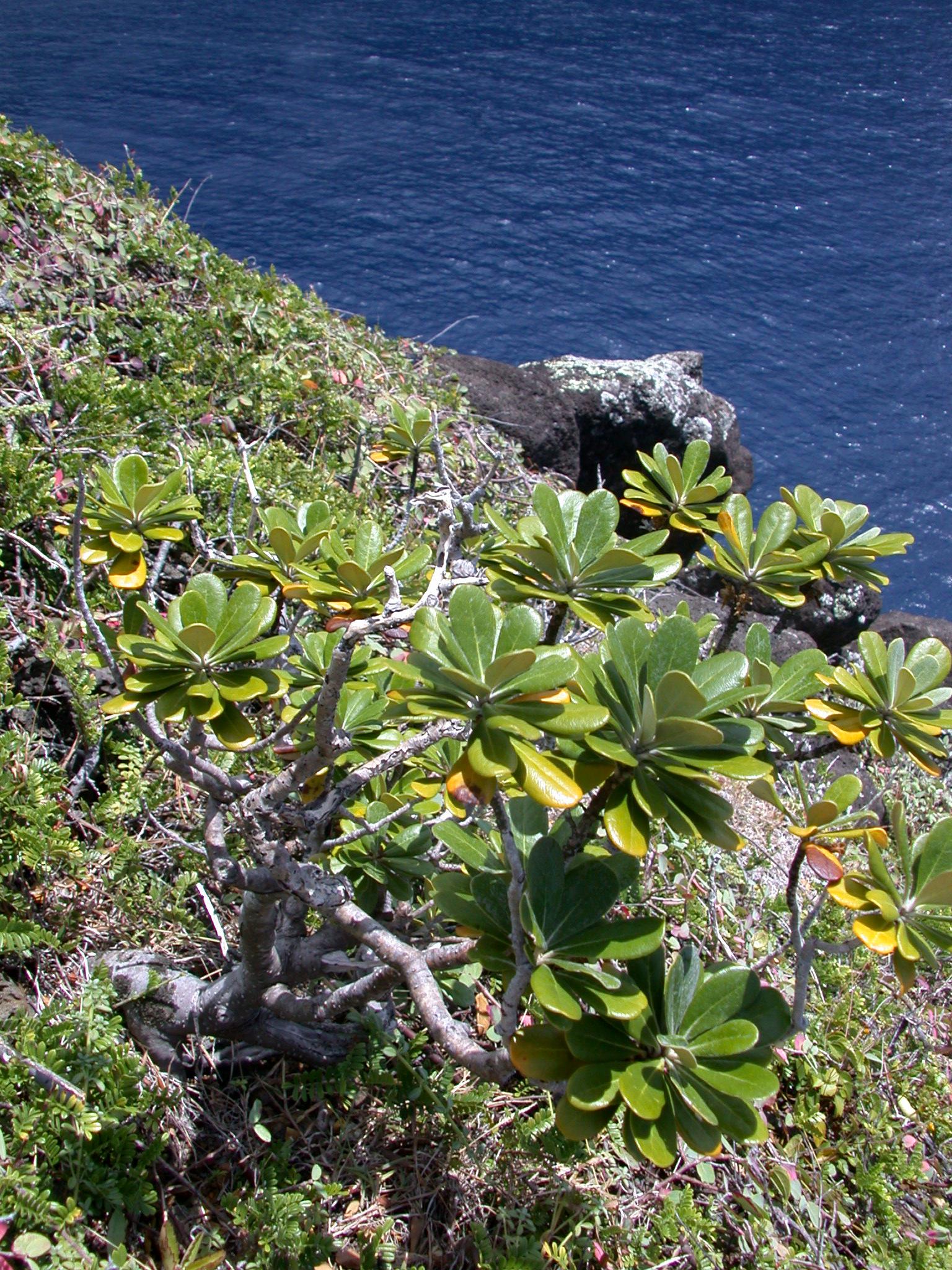 One of the two Ho'awa (Pittosporum halophilum) plants growing on the southwestern ridge of Ho'awa.