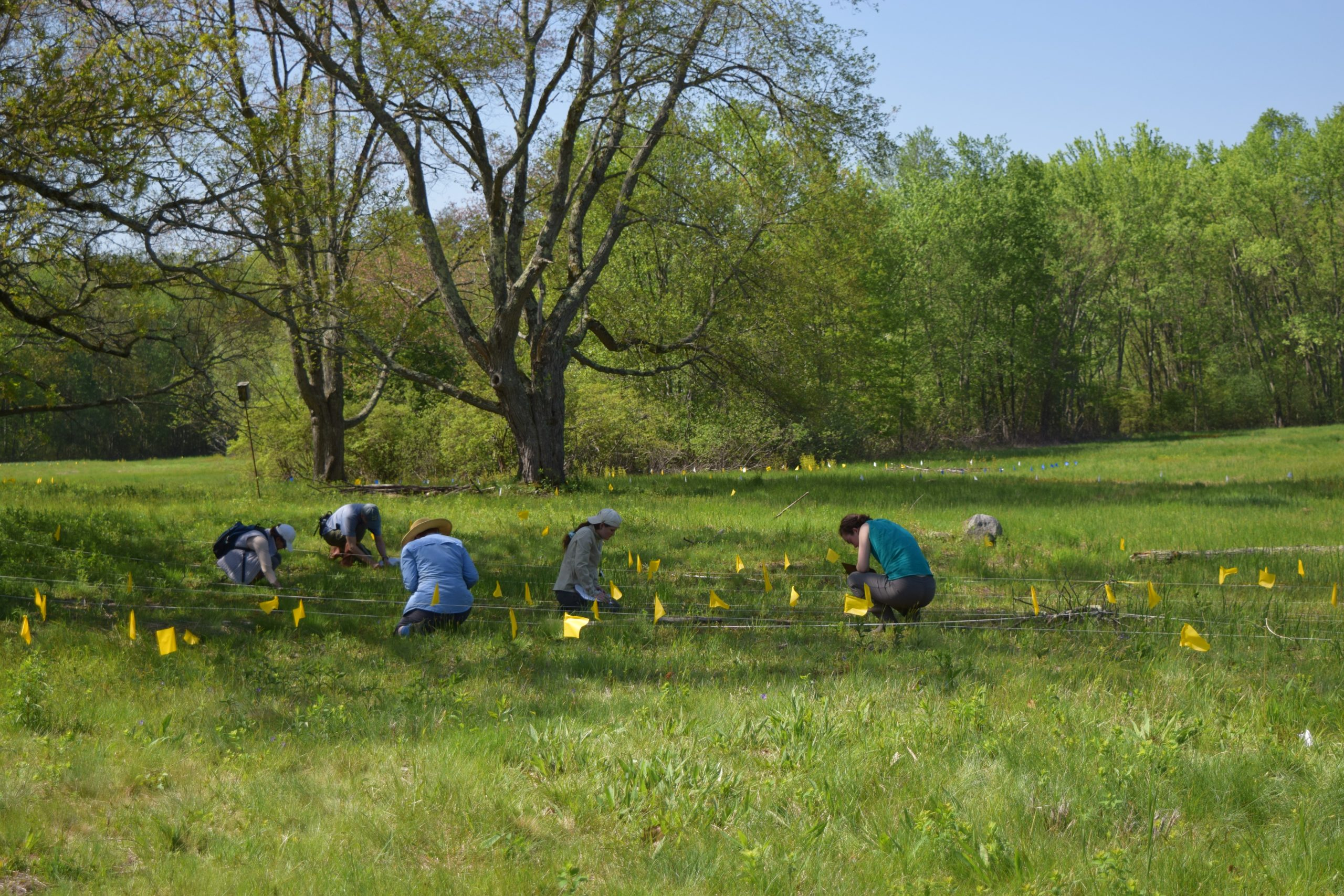 Volunteers helping to monitor Coast violet (Viola brittoniana) at a project site New England Wild Flower Society has been managing for 10 years in Massachusetts