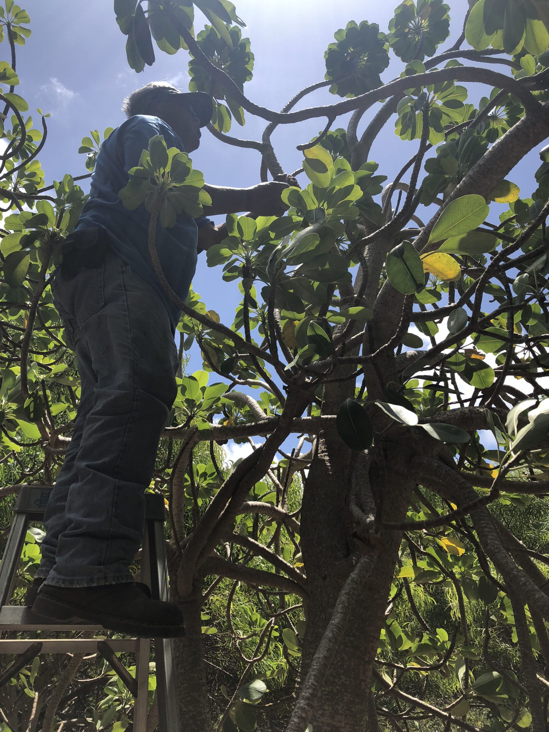 Koko Crater Botanical Garden's recently retired manager, Robin Sunio, checks on Kaua'i spurge.