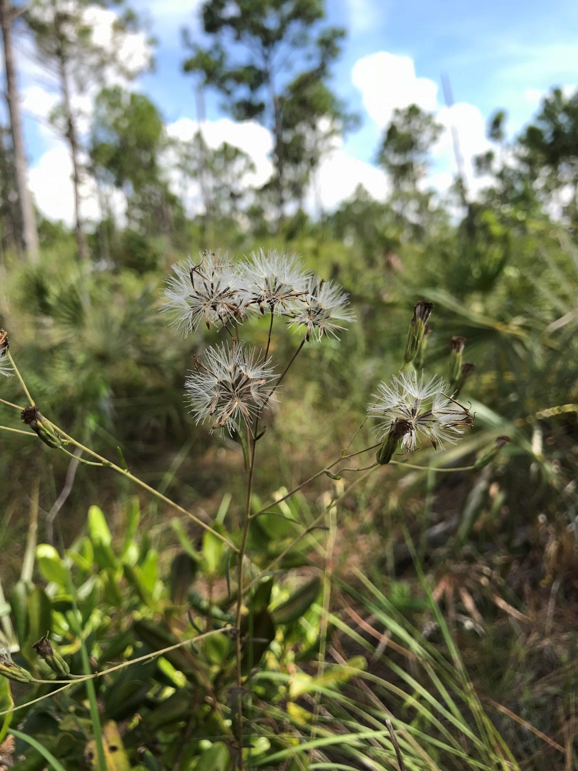 Bahama sachsia (Sachsia polycephala) seed heads in a pine rockland.