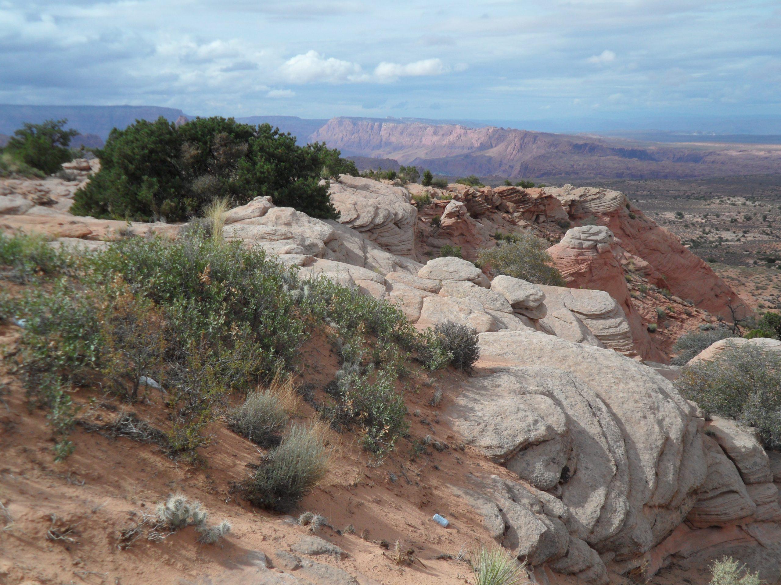 Shinnery oak grows atop a rocky outcrop in Cedar Mesa, UT.