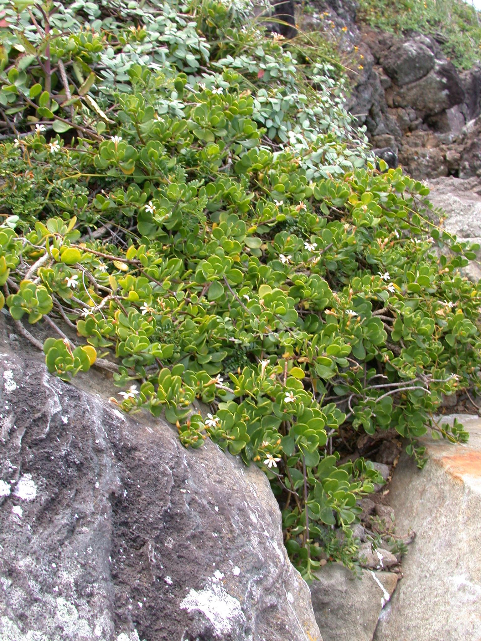 Dwarf Naupaka on top of Okala islet, an ecologically important part of Kalaupapa National Historic Park.