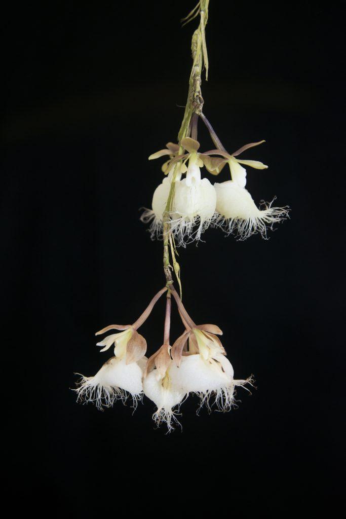 Close up photo Ila epidendrum flower. Marie Selby Botanical Gardens.
