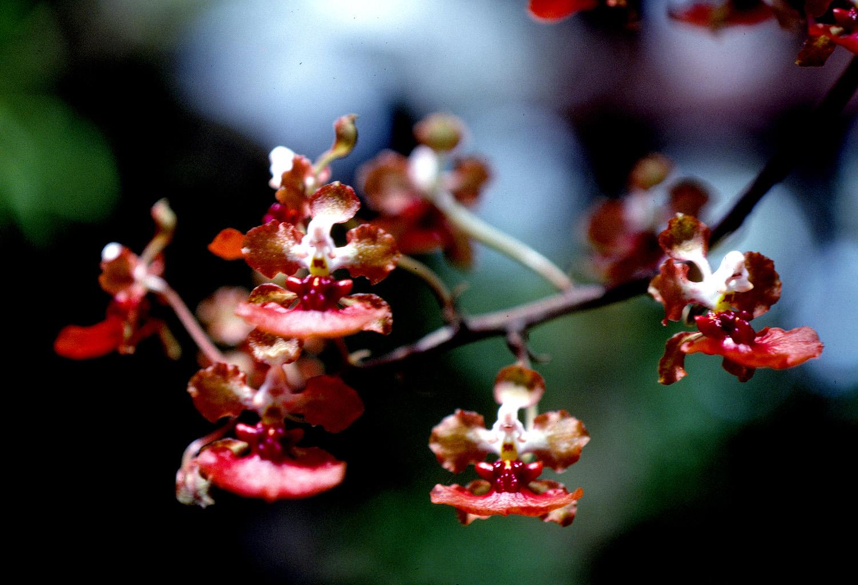 Spotted mule eared orchid (Trichocentrum undulatum).
