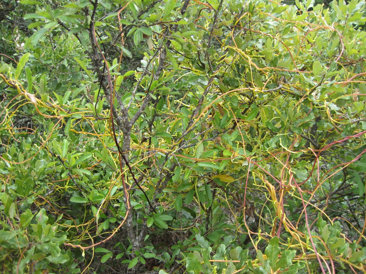 Tree dodder formed tangles in the shinnery oaks, making it necessary to trim branches of the oaks in order to extract seed.