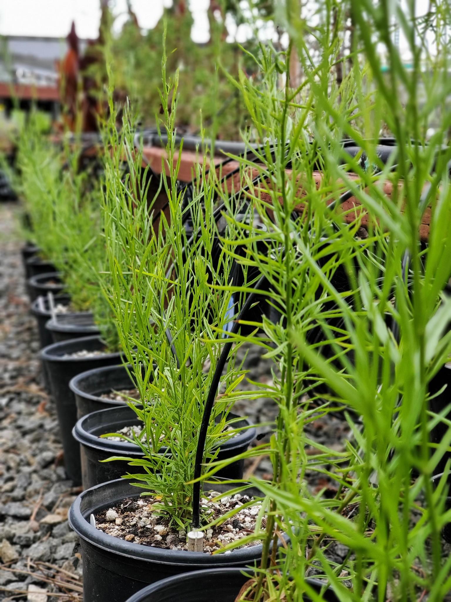 Image of dozens of wild sourced, endangered Encinitas Baccharis flourishing in the San Diego Botanic Garden's nursery. Credit: Tony Gurnoe