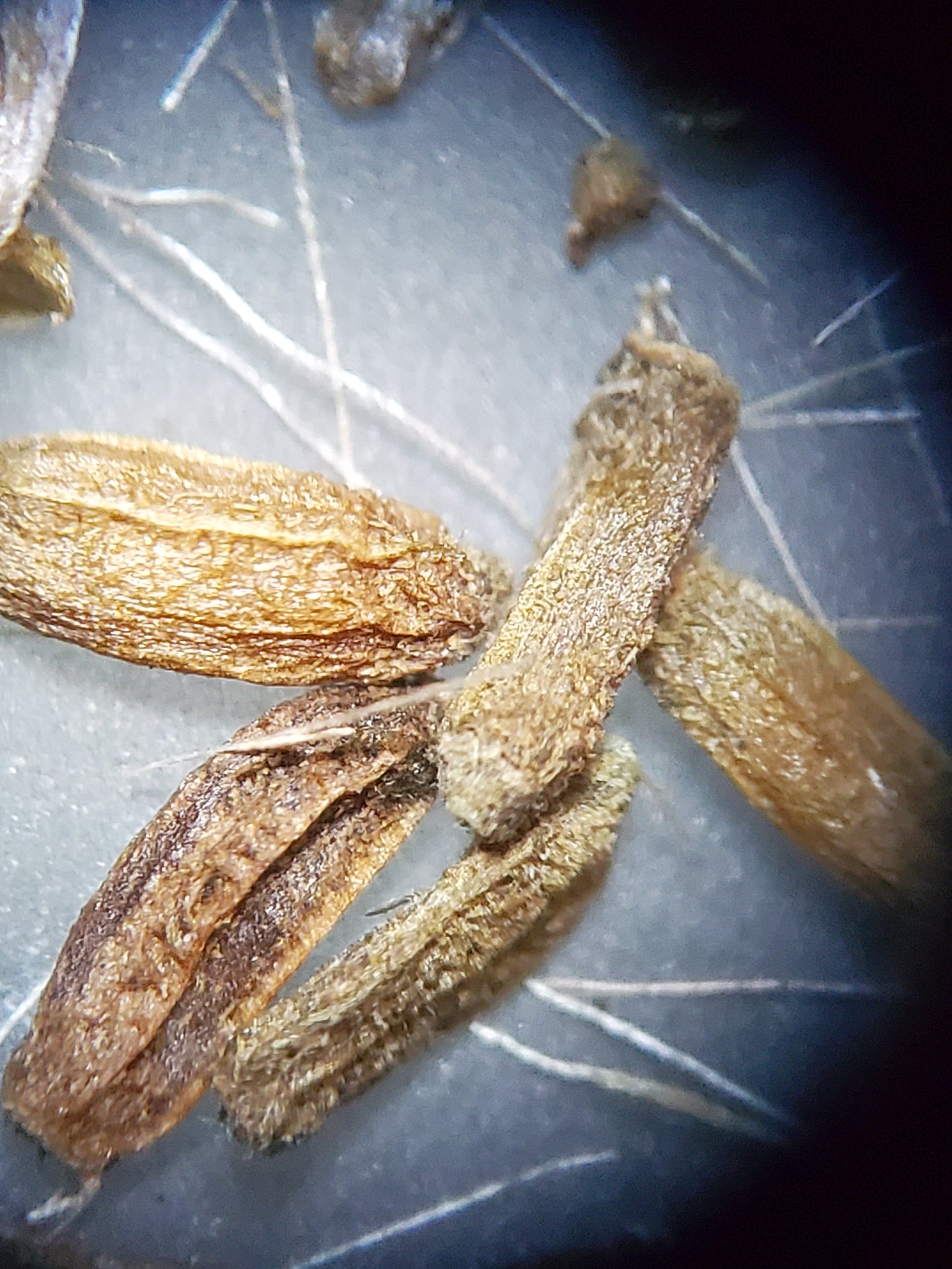 Image of nearly clean Baccharis vanessae seed with pappus remnants.
