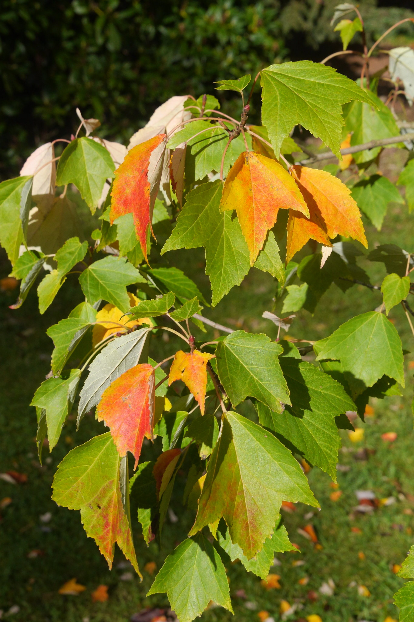 Image of a Japanese red maple (Acer pycnanthum).