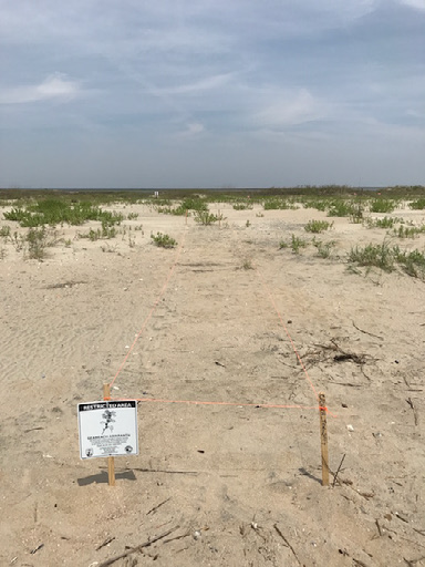 Image of transect on Cape Romain after planting AMPU seeds