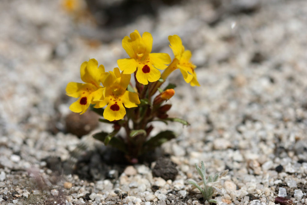 Image of Erythranthe carsonensis, photo by Naomi Fraga