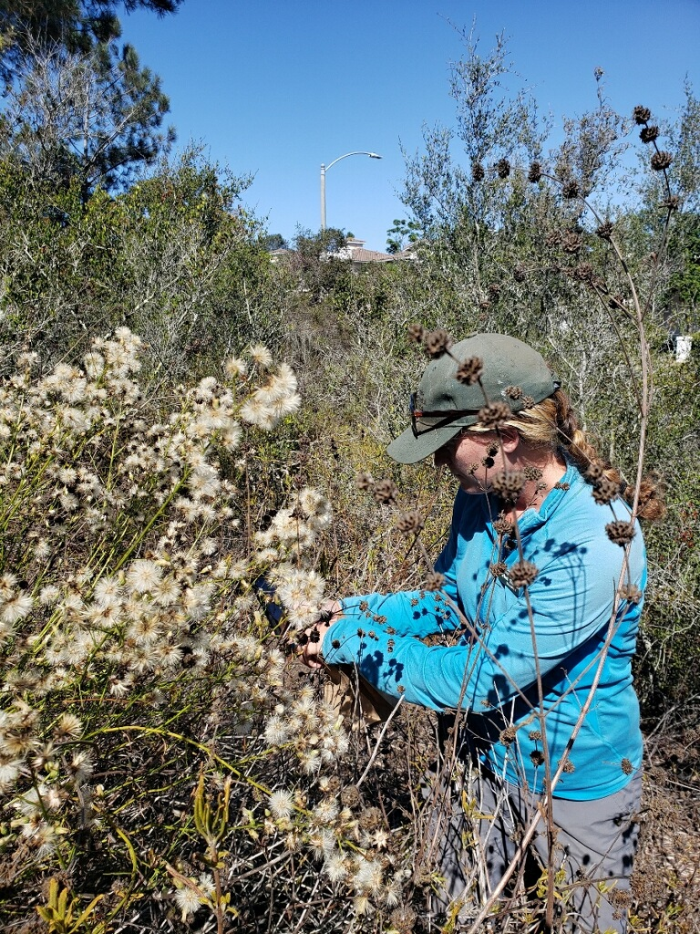 Image of Conservation Horticulturist, Rachel Sadowski, collecting seed from a prolific mother plant in Encinitas.